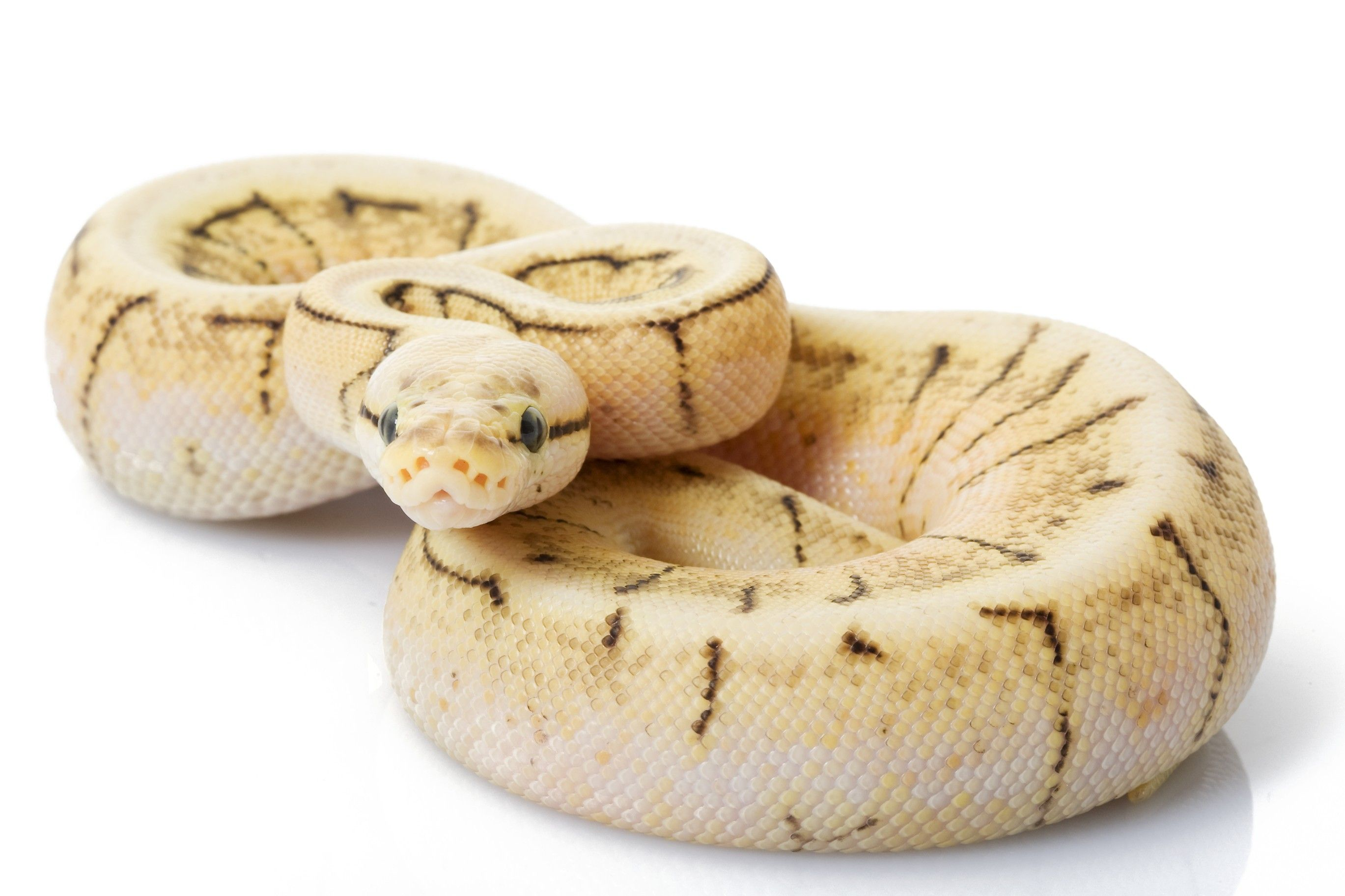 Caring for your Ball Python