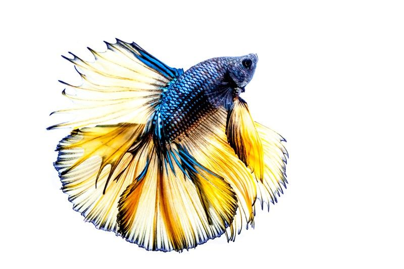 Tips for Providing Proper Water Conditions for a Betta