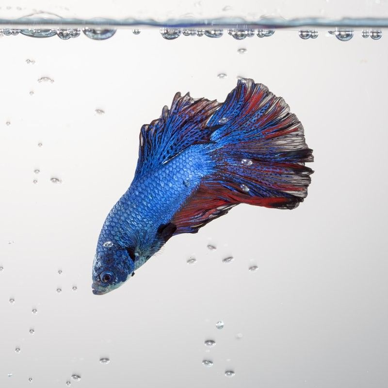 Why Do Bettas Blow Bubbles?
